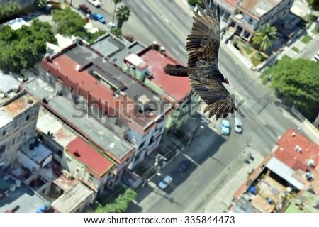 The American vultures (Cathartidae Lafresnaye) soars over Havana Cuba. Birds eye view over city of Havana,Cuba.  - stock photo