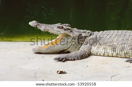 The amphibian - a crocodile, the island of Koh Samui, Thailand - stock photo