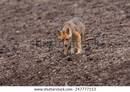 The Andean Fox (Lycalopex culpaeus), also known as Culpeo, Zorro Culpeo or Andean Wolf.  This is a young animal in Chimborazo National Park, about 4,800 meters high in the Andes mountains of Ecuador. - stock photo