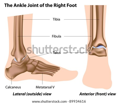 The ankle joint - stock photo