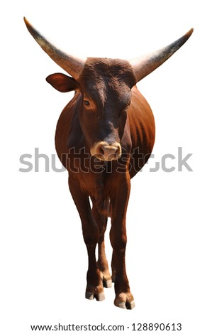 The Ankole cattle, best known for its large, distinctive horns, is native to Africa. - stock photo