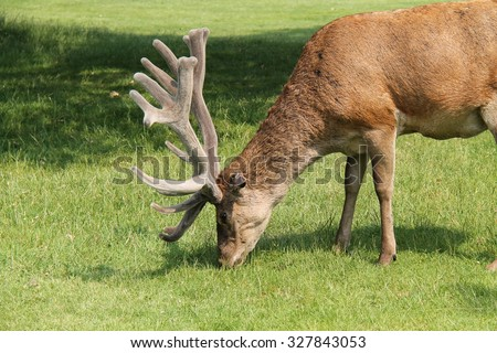 The Antlers of a Fine Wild Red Deer Animal. - stock photo