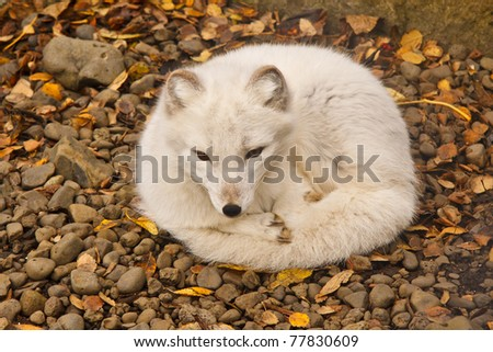 The Arctic Fox is Iceland's only native mammal. - stock photo