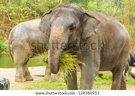 The  Asian Elephant shake off the sand before eat the grass - stock photo