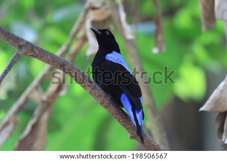 The Asian Fairy-bluebird is a medium-sized, arboreal passerine bird. This fairy-bluebird is found in forests across tropical southern Asia.  Scientific name is Irena puella - stock photo