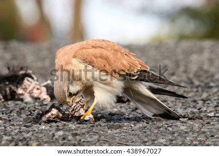 The Australian kestrel or nankeen kestrel is one of the smallest falcons, and unlike many, does not rely on speed to catch its prey. - stock photo