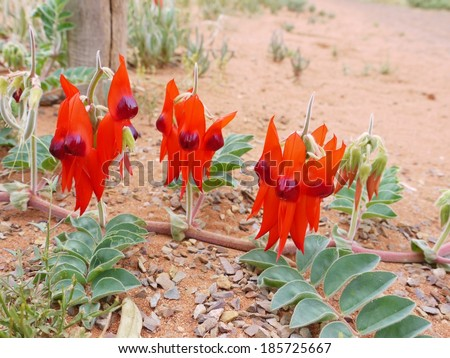 The Australian Sturts desert pea (Swainsona Formosa) native to the arid regions of Australia - stock photo