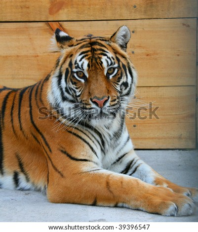 The average plan of a muzzle of a tiger - stock photo
