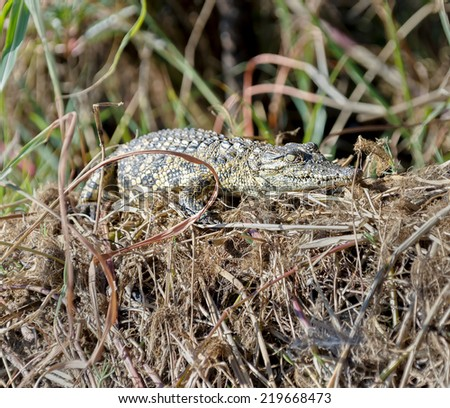 The baby crocodile lying in the bushes on the banks of the Chobe river in national park Chobe, Botswana, South-Western Africa - stock photo