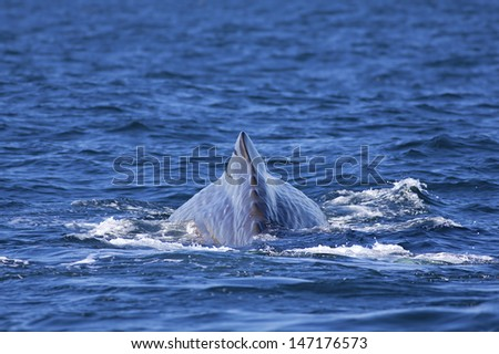 The back of a Sperm Whale in Norwegian waters - stock photo