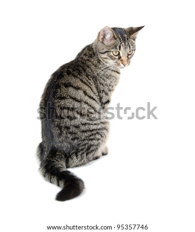 The back of a tabby cat sitting on white background - stock photo