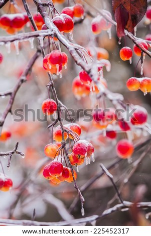 the background frozen winter branches in the ice, winter berrie - stock photo