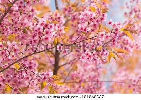 The background of pink sakura in Thailand - stock photo