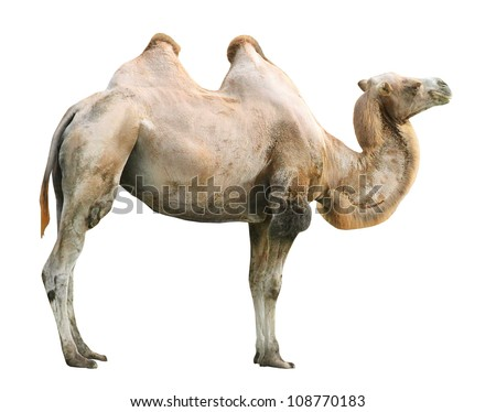 The Bactrian camel (Camelus bactrianus). - stock photo