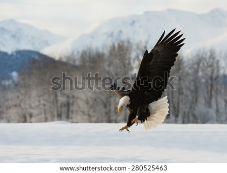 The Bald eagle lands on the snow-covered ground, having stretched wings - stock photo