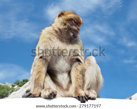 The Barbary Apes or the Macaque Monkeys Found on the Rock of Gibraltar - stock photo