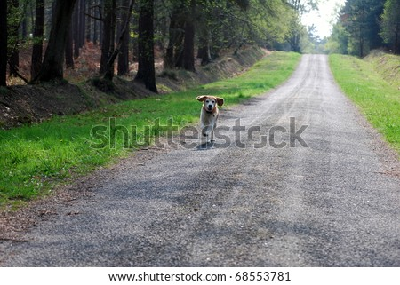 The beagle is running along a road to come back to its owner - stock photo