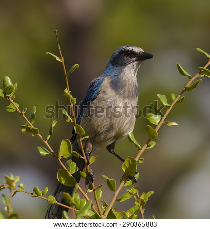 The beautiful and endangered Florida Scrub Jay(Aphelocoma coerulescens), Florida's only endemic bird species, found living only in a central Florida's scrub oak habitat. - stock photo
