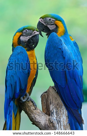 The beautiful birds Blue and Gold Macaw. - stock photo