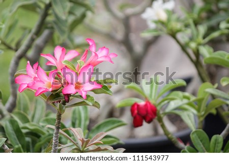 The beautiful blossom of a Desert Rose (Adenium obesum, Apocynaceae) plant: showing the pink and white petals, fuzzy and long green leaves. - stock photo