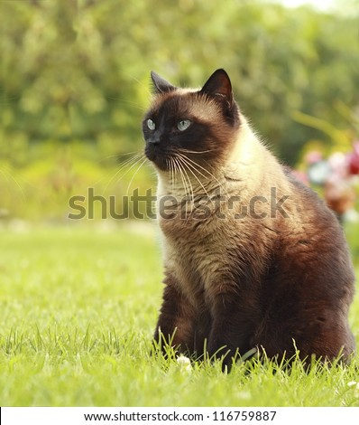 The beautiful brown cat, Siamese, with blue-green eyes sits in a green grass and yellow leaves - stock photo