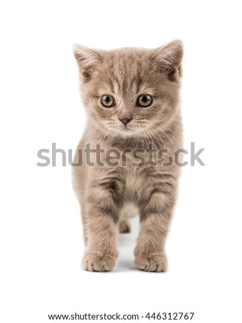 the beautiful brown little  British kitten, sit on white  background , isolated - stock photo