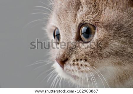the beautiful brown little  kitten, on grey  background , closeup  muzzle - stock photo