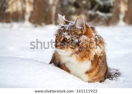 the beautiful cat on sits on snow - stock photo