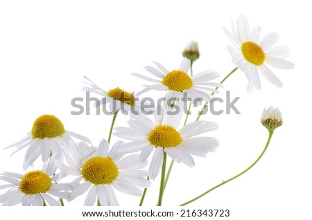 The beautiful daisy isolated on white background - stock photo