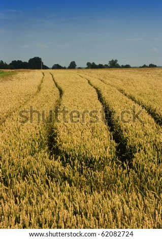 The beautiful fields of grain stretching under the blue sky - stock photo
