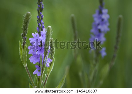 The beautiful flowering stalks of blue vervain, a tall flowering plant that grows wild in Midwest prairies. - stock photo