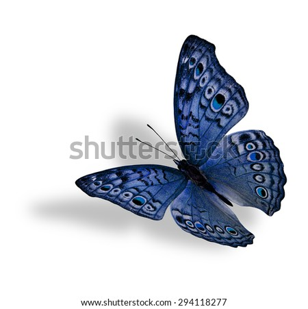 The beautiful flying blue butterfly (Junonia atlites ) isolated on white background with soft shadow beneath - stock photo