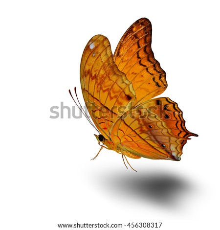 The beautiful flying butterfly, Common Cruiser (vindula erota) fully wings stretching on white background and soft shadow beneath, exotic nature - stock photo