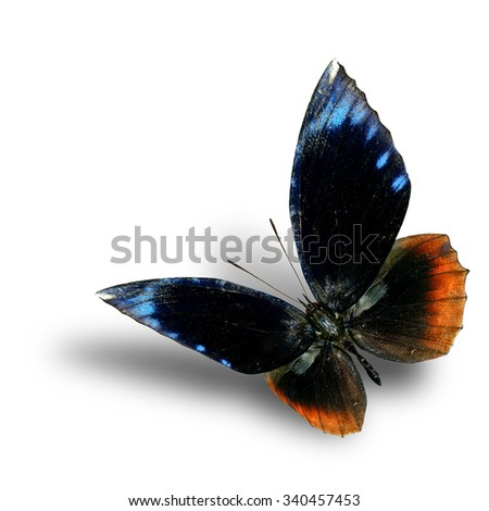The beautiful flying Common Palmfly butterfly (elymnias hypermnestra) in natural color with fully wingspan on white background with nice soft shadow beneath - stock photo