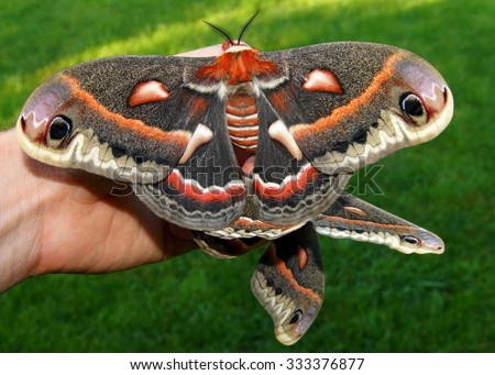 The beautiful giant silk moth butterfly called Cecropia Moth, Hyalaphora cecropia, mating pair - one of the largest butterflies or moths in the world, in a man's hand to show size - stock photo