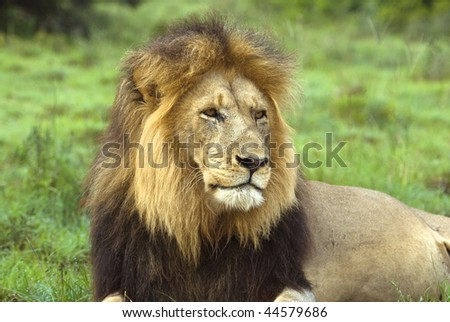 The Beautiful Head of an Adult Male Lion - stock photo