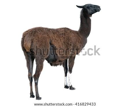 the Beautiful lama on a white background - stock photo