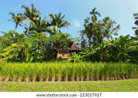 The beautiful landscape of rice fields. Rice fields with home and nature. - stock photo