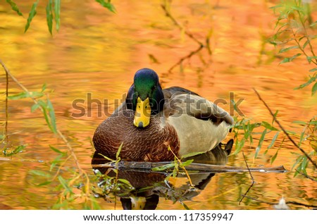The beautiful mallard duck sitting in the bushes on the pond, the water in the reflection of colorful autumn trees. - stock photo