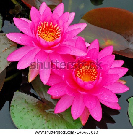 The beautiful pink waterlily or lotus flower. - stock photo