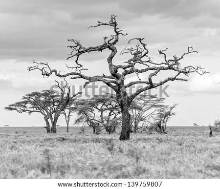 The beautiful trees in Serengeti National Park -Tanzania, Africa (black and white) - stock photo