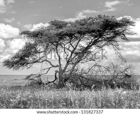 The beautiful trees in Serengeti National Park, Tanzania (black and white) - stock photo