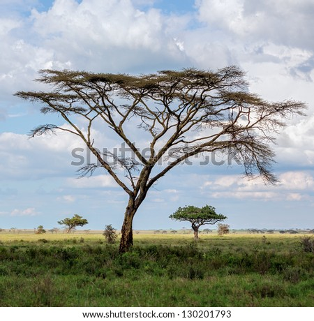 The beautiful trees in Serengeti National Park -Tanzania, Eastern Africa - stock photo