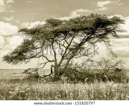 The beautiful trees in Serengeti National Park, Tanzania (stylized retro) - stock photo
