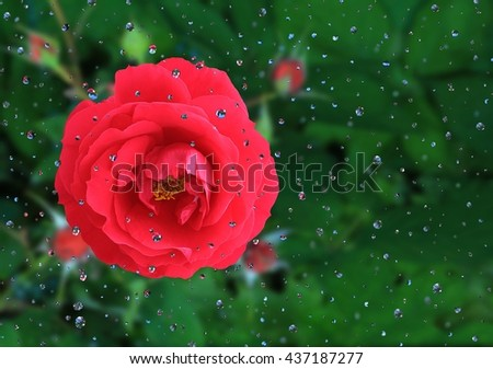 The beauty of raindrops on a garden rose. - stock photo