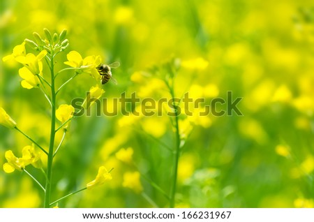 The bee collects honey on a rape flower - stock photo