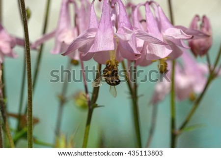 The bee is drinking nectar from the pink-purple flowers of Aquilegia, common named granny's bonnet or columbine. - stock photo