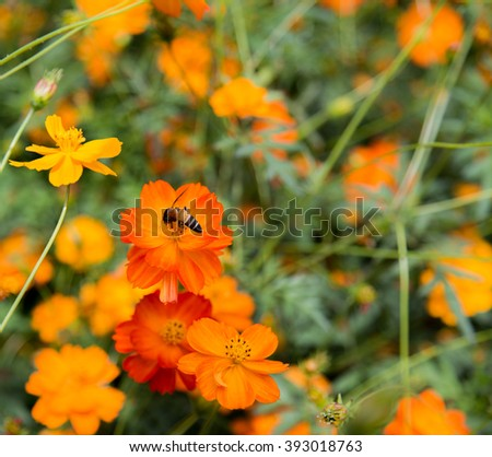 The bee on cosmos flower and have their blurry orange field background. - stock photo
