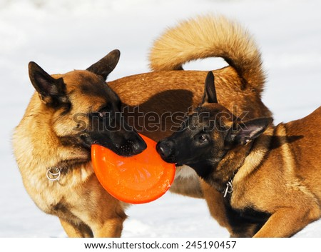 the Belgian shepherds plays with a disk frisbee on a snow field  - stock photo