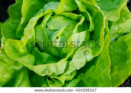 The Benefits of Growing Your Own Butter Lettuce. (Butter lettuce) A Leaf with Many Names. - stock photo